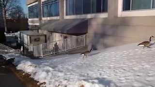 Вашингтон февраль 2014. Городские гуси