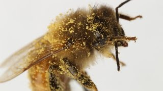 How Honeybees Brush Their Eye Hairs