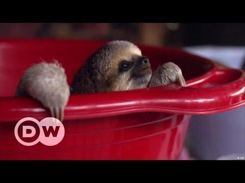 Suriname: Rescuing sloths   DW English