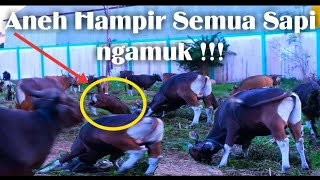 Download Video Sapi ngamuk Sangat Menegangkan, Sapi Kurban Idul Adha 2018-Cows Go Berserk MP3 3GP MP4