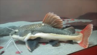 beautiful 125 gallon fish tank with oak trim for big redtail catfish 1 of 4