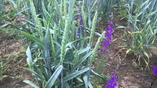 Канадская озимая пшеница, прошёл дождь