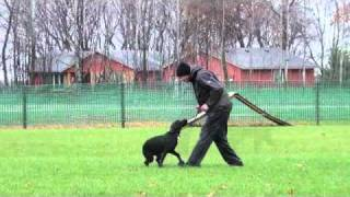 Pj (labrador Retriever) - Obedience Level Ii. Dog Training