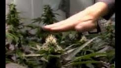 Высший пилотаж выращивания марихуаны ultimate grow марихуана длительность действия