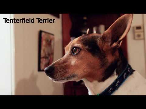 Tenterfield Terrier - small to medium dog breed