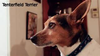 Tenterfield Terrier  small to medium dog breed
