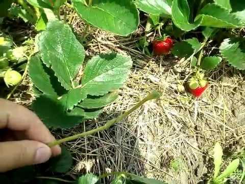 Земляника (клубника), сорт Мальвина. Первая ягода