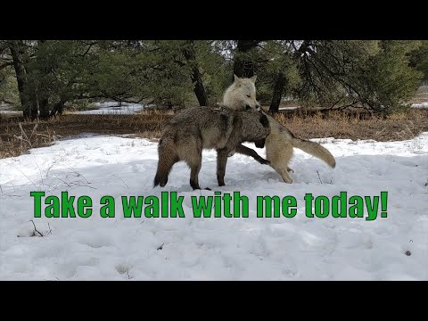I am Wolf Daddy  NOT the Wolf Sanctuary