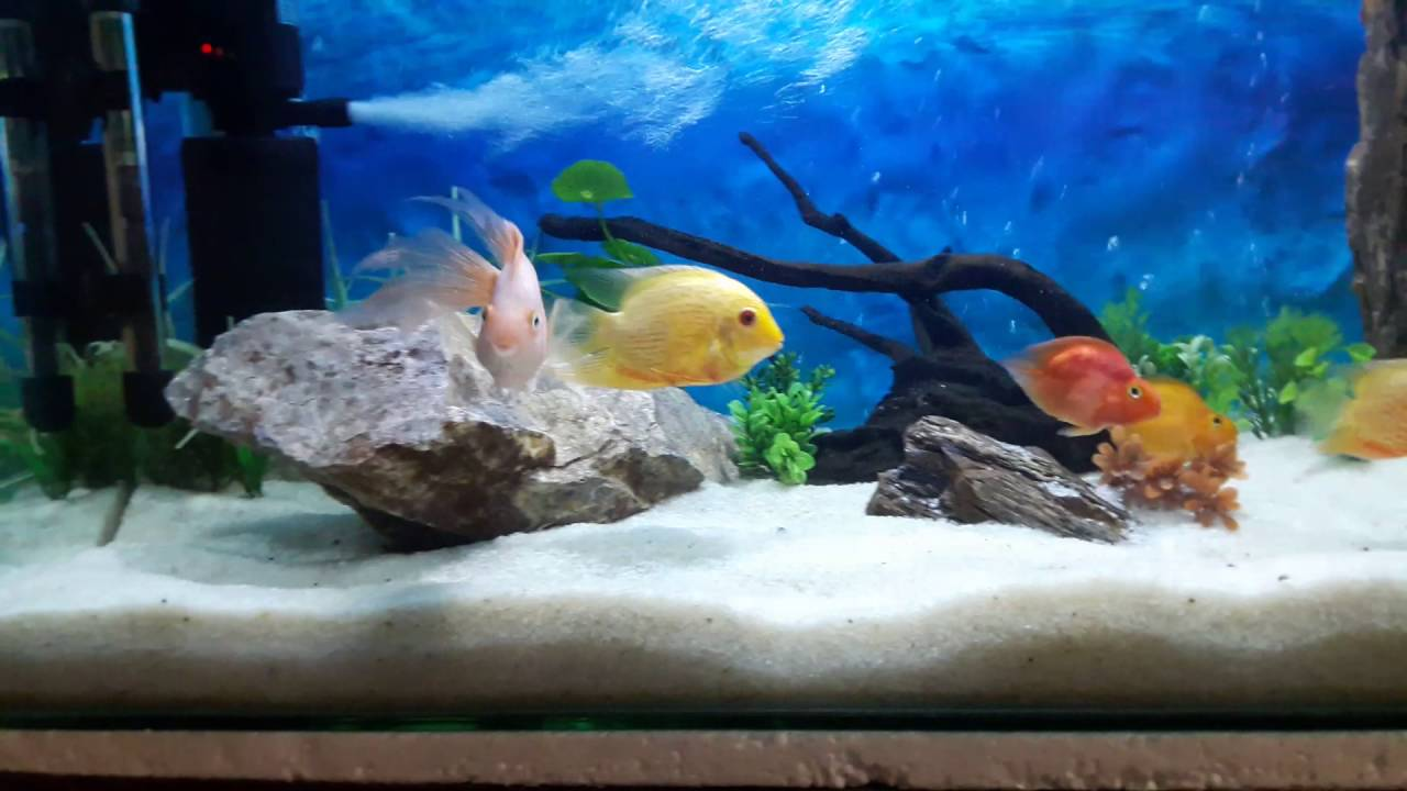 Freshwater aquarium fish in pakistan - Severum Parrot Fish Angel Fish And Clown Loach Lahore Pakistan Youtube