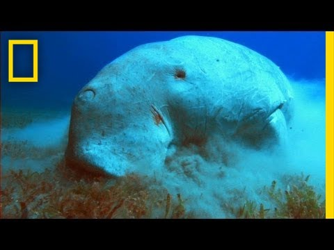Thumbnail: What in the World is a Dugong? | National Geographic