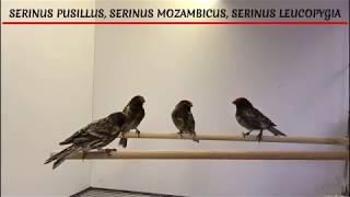 Canario Mozambique, Cantor de Africa, Verdecillo de frente Roja. Serinus Pusillus,