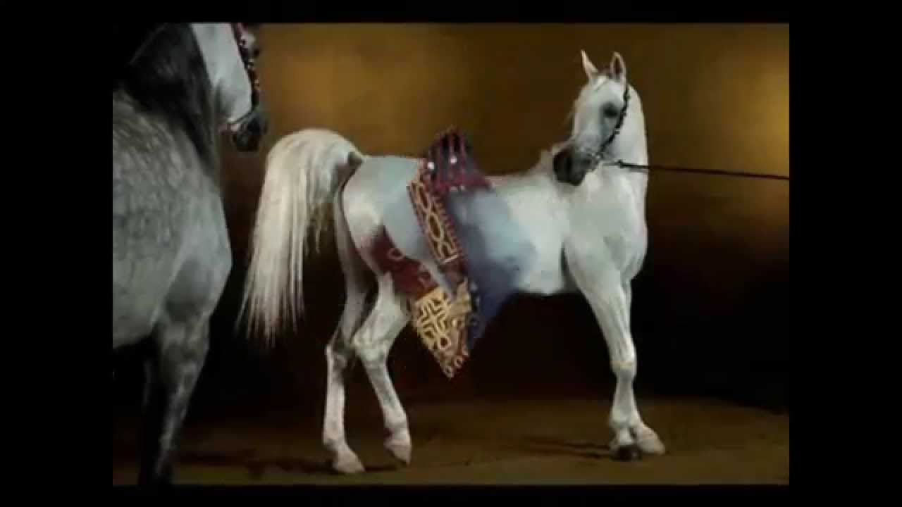 أجمل حصان عربي أصيل في