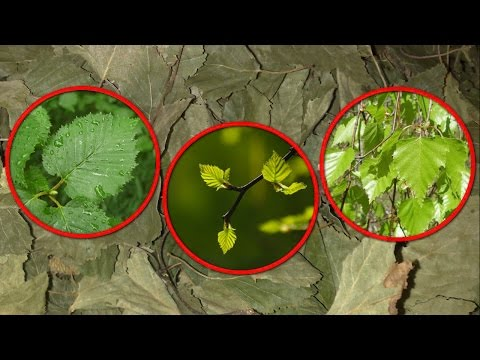 Лечебные листья березы. Лечение листьями березы