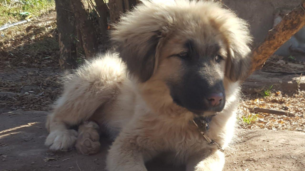 bakarwal dog puppy 3 months old tibetan mastiff gaddi