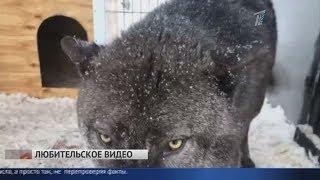 50 оттенков серого: волки вышли к людям