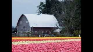 Beautiful Colored Tulip fields