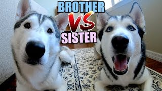 Siberian Husky Brother & Sister Differences | Puppies Play Fight! SO CUTE!