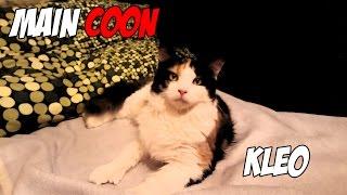 Maine Coon Cat ☆ Meine Riesen Katze ! also bald !  ☆