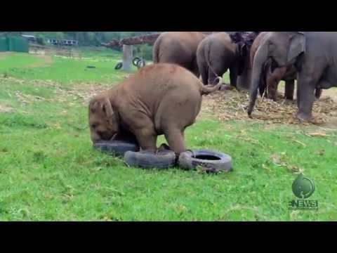 Baby Elephant Playing With a Tire