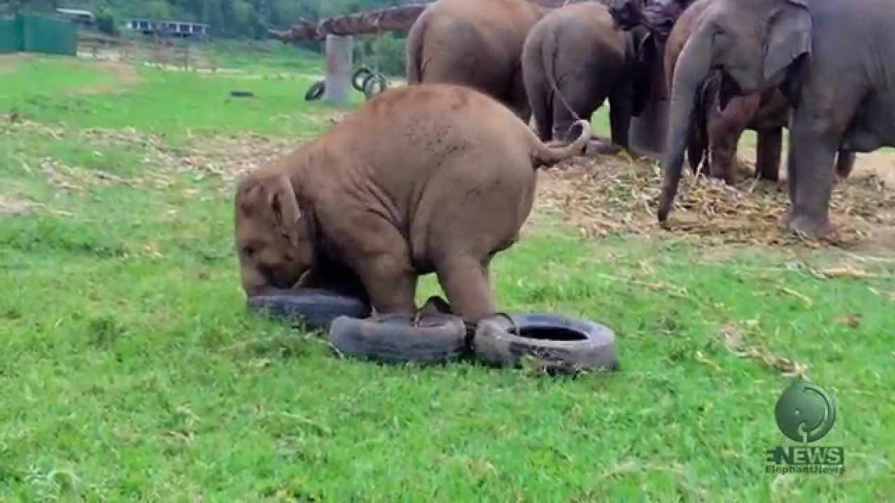 Baby Elephant Playing With A Tire Youtube