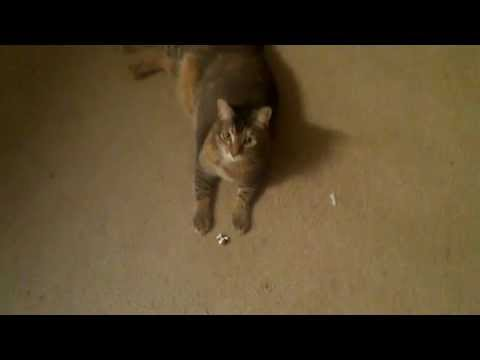 Thumbnail for Cat Video Cat playing fetch