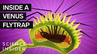 What's Inside A Venus Flytrap?