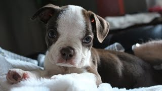 ****How To Potty Train A Boston Terrier Puppy - Free Mini-Course ****