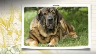 Испанский мастиф порода собак