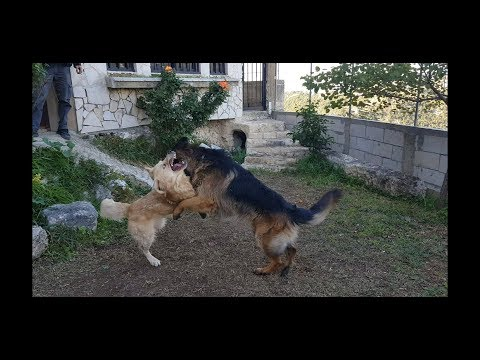 German Shepherd Vs Golden Retriever Dog - The last fight