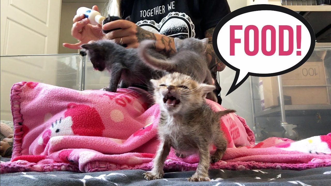 Feeding Seven HUNGRY Foster Kittens