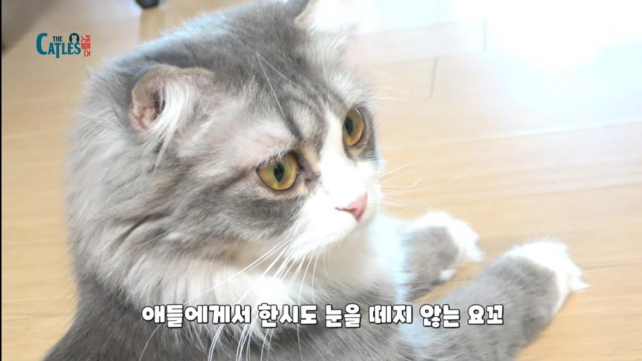 아기고양이때문에 애가 타는 엄마 고양이 울음소리! 여신고양이 요꼬(YOKO, a goddess-like cat who is anxious about a kitten.)