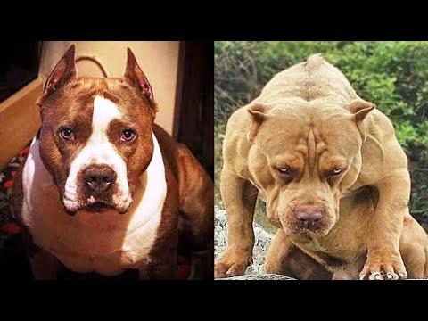 American Staffordshire Terrier VS American Pit Bull Terrier