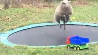 Sheep Bounces on Trampoline Kept in Garden - 1117017