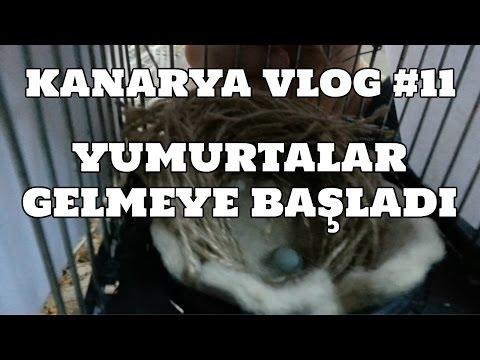 Hobihanem - Kanarya Vlog #11 (İlk Yumurtalar Geldi) [22.03.2017]