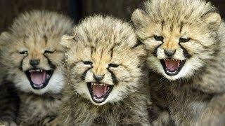 Playing With Cheetahs : SnakeBytesTV