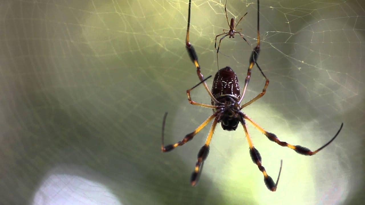 Florida Banana Spider Closeup - YouTube