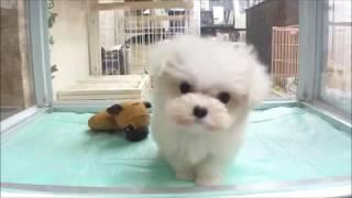 DOG Stage ドッグステージ http://www.dog-stage.com/ml_puppy.html マ...