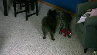 Pomerke Vs Weimaraner Puppy 3