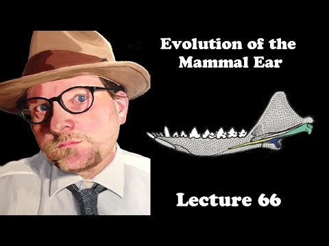 Lecture 66 Evolution Of The Mammal Ear