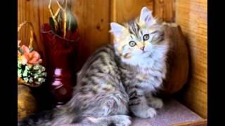 Мое слайд-шоу Сибирские котята и кошки