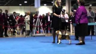 Eukanuba 2010 13 Inch Beagle.mp4