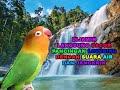 Lovebird Ngekek Ngetik Konslet Suara Lovebird Tunggal Dengan Suara Air Mengalir Dan Jangkrik  Mp3 - Mp4 Download