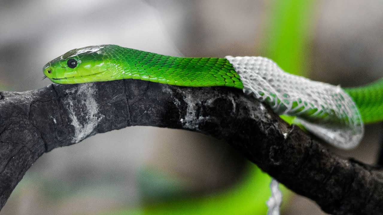 Amazing Footage Of Snake Shedding It S Skin Youtube