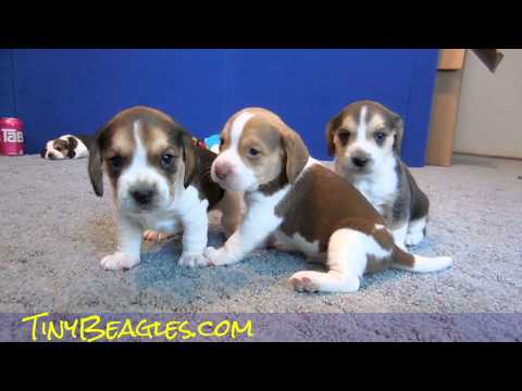 AKC Pocket Beagle Puppies Playing Cute Tiny Beagles For Sale Video