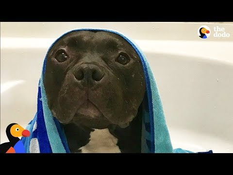 Scared Pit Bull Dog Gets Brother Who Changes His Life | The Dodo