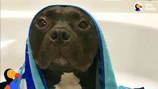 Scared Pit Bull Dog Gets Sister Who Changes His Life | The Dodo