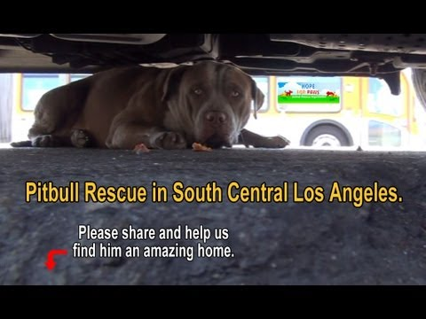 Pit Bull Rescue in South Central Los Angeles - Please share.