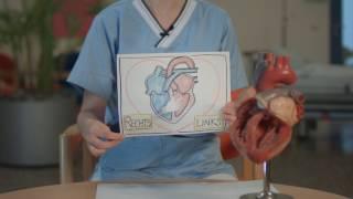 Der Herz-Lungen-Kreislauf