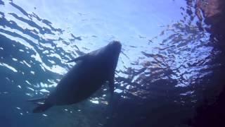 Hawaiian Monk Seal in Makena