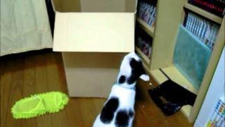 猫が箱の中を覗いたら・・・。 Excludes the cat in a box. 夜な夜な猫...